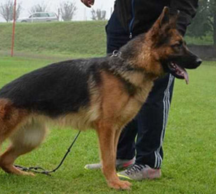 Vollkommen German Shepherd Kennel TX