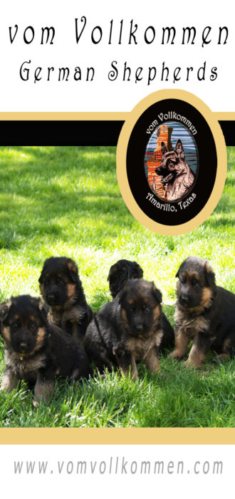 The boys, Zack, Zyden, Zeus, Zeke, and Zorro from our Olivia vom Vollkommen, Dasty Emsi-Haus Litter.