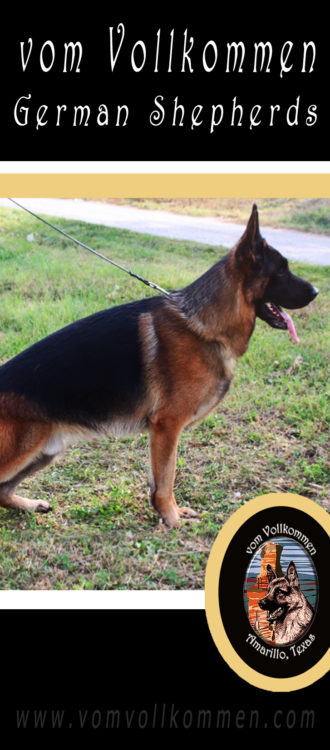 Dasty Emsi-Haus will be competing in the Working Male Class at the 2018 German Shepherd Dog Club of America Sieger Show in Zion IL, Sept 27-30th.
