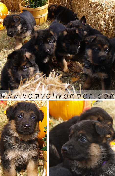 Fall has arrived and the puppies from our Rajka & Voodoo litter are loving it!