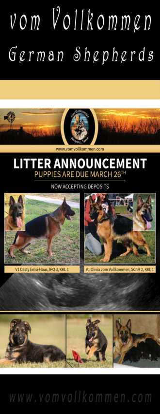 Litter Announcement - Sire: V1 Dasty Emsi-Haus, IPO 3, KKL 1 Dam: V1 Olivia vom Vollkommen, SChH 2, KKL1