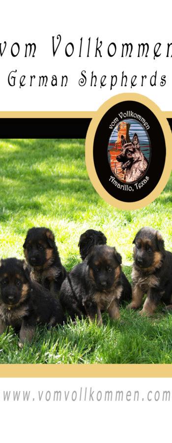 The boys, Zack, Zyden, Zeus, Zeke, and Zorro from our Olivia vom Vollkommen, Dasty Emsi-Haus Litter.